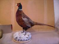 Первичная обработка птиц для изготовления трофея